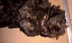 Shih Tzu Lying on her back