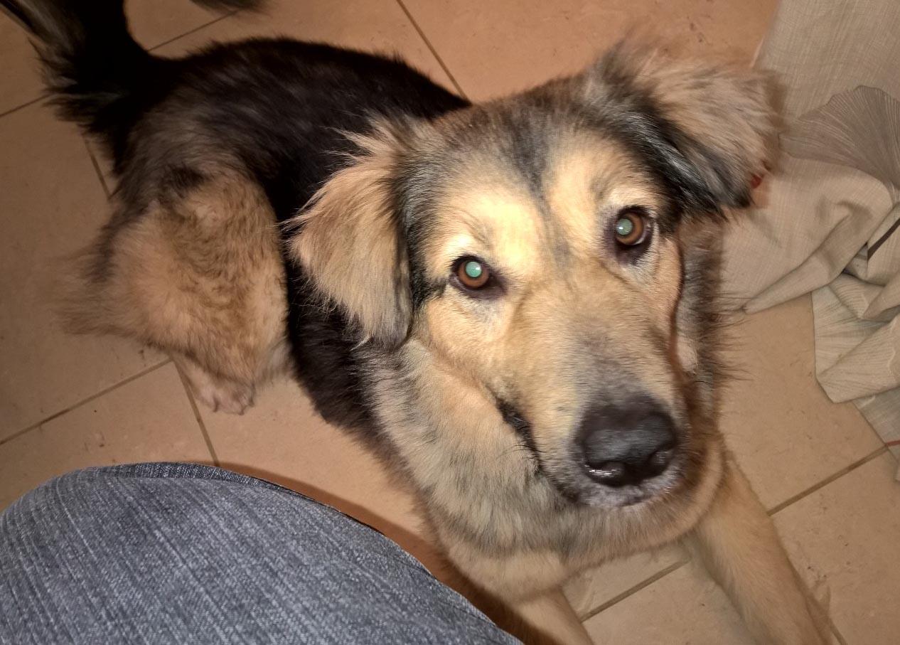 Large Romanian Dog Breeds