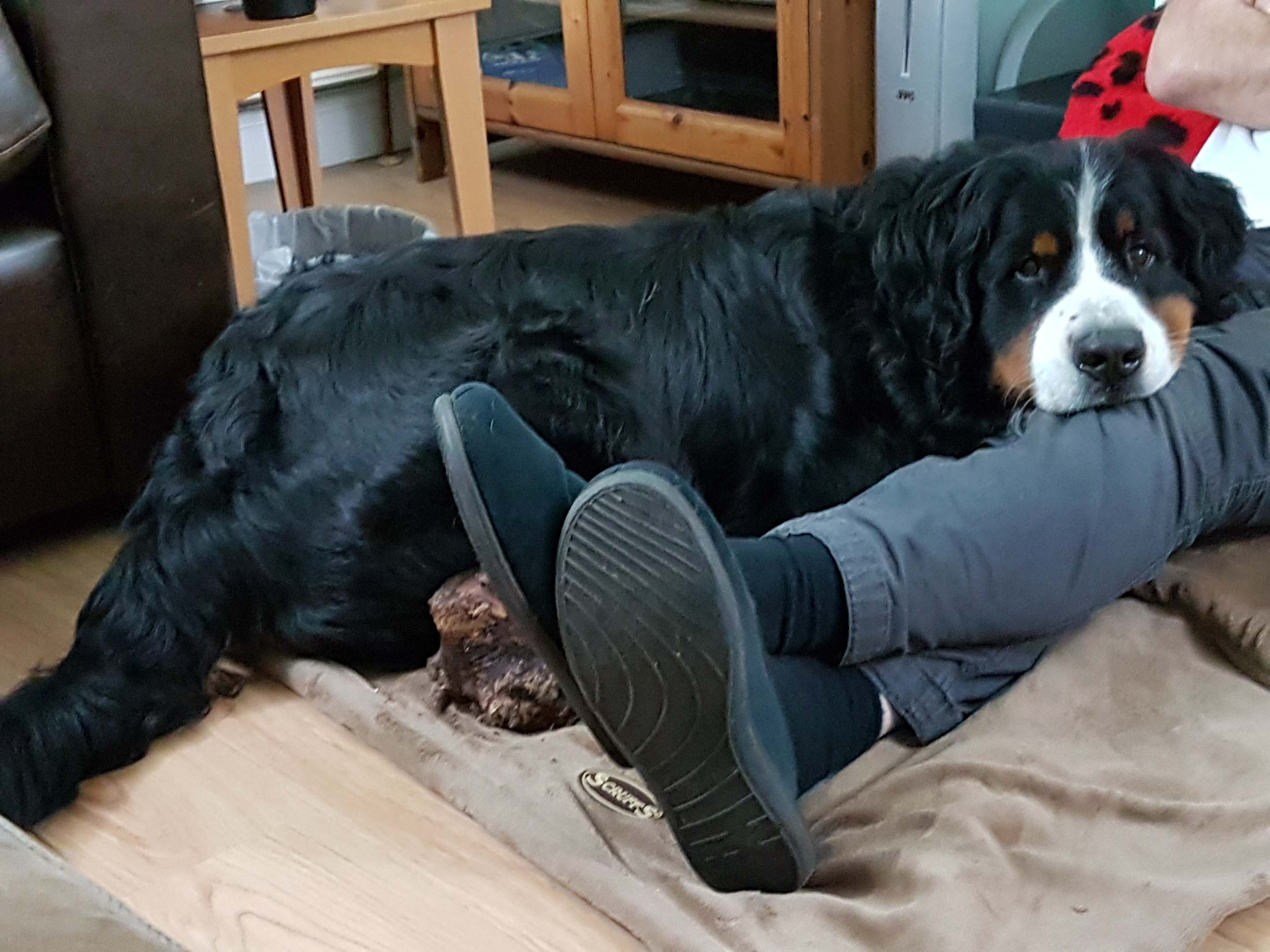 The Dog Behaviour Ladybernese Mountain Dog Archives The