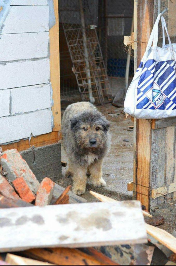 Romanian street dog
