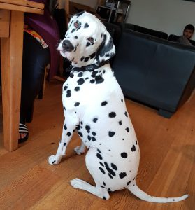 excitable Dalmatian