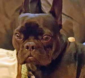 Frenchie suffers separation panic when left