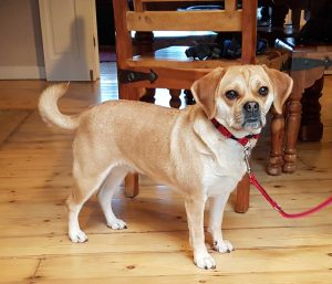 Rehomed Puggle